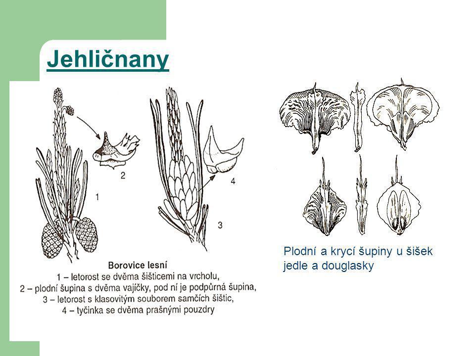 Jehličnany Plodní a krycí šupiny u šišek jedle a douglasky