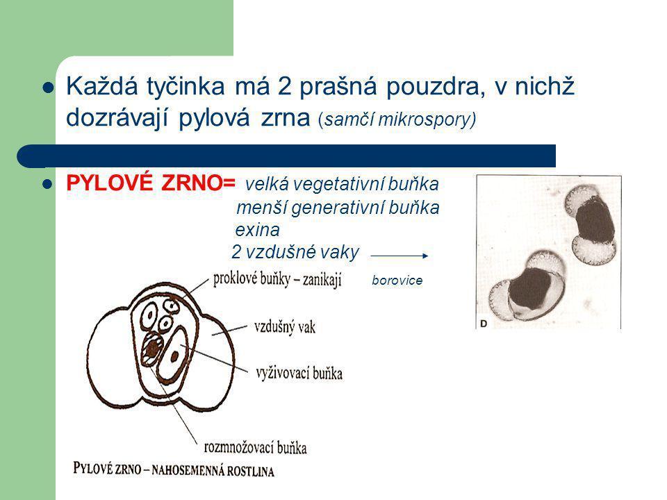 Každá tyčinka má 2 prašná pouzdra, v nichž dozrávají pylová zrna (samčí mikrospory)