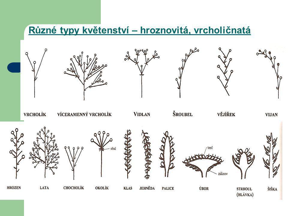 Různé typy květenství – hroznovitá, vrcholičnatá