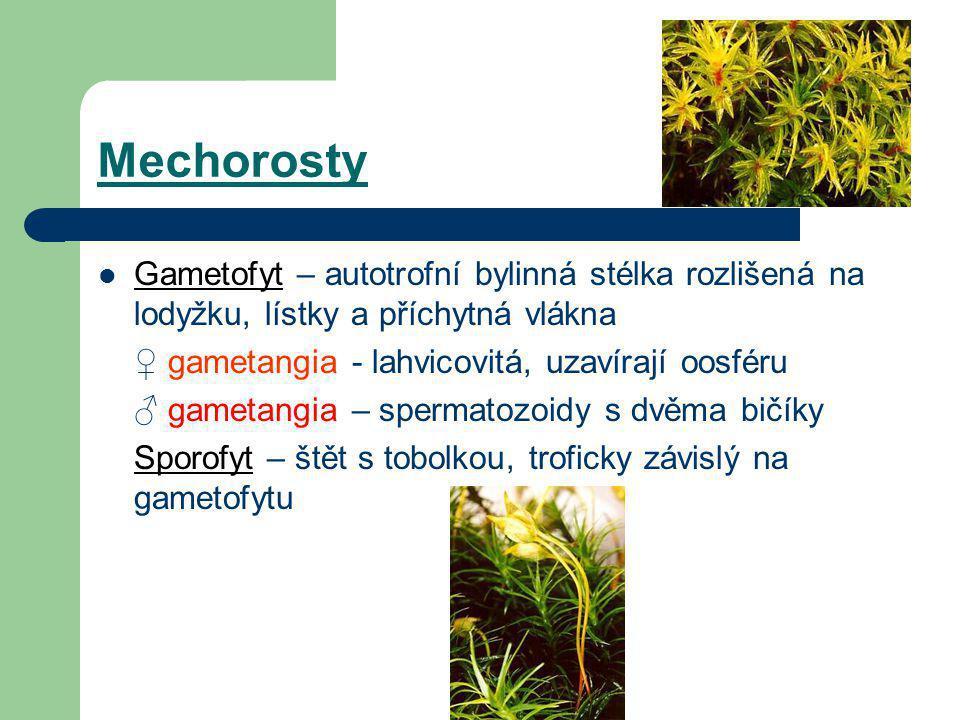 Mechorosty Gametofyt – autotrofní bylinná stélka rozlišená na lodyžku, lístky a příchytná vlákna. ♀ gametangia - lahvicovitá, uzavírají oosféru.
