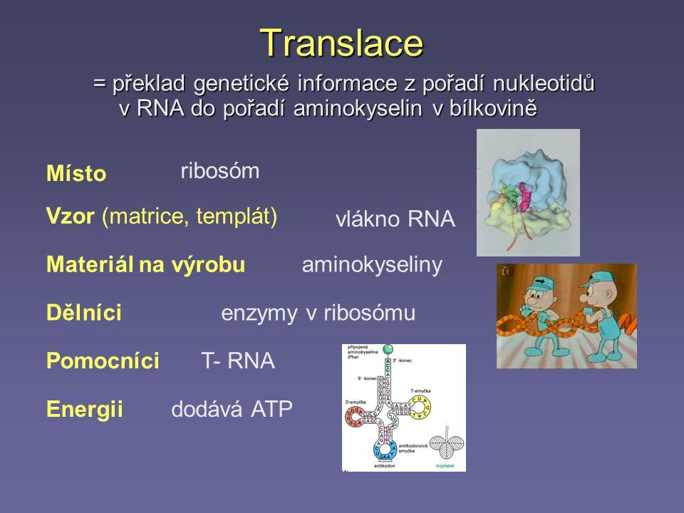 Translace = překlad genetické informace z pořadí nukleotidů v RNA do pořadí aminokyselin v bílkovině.