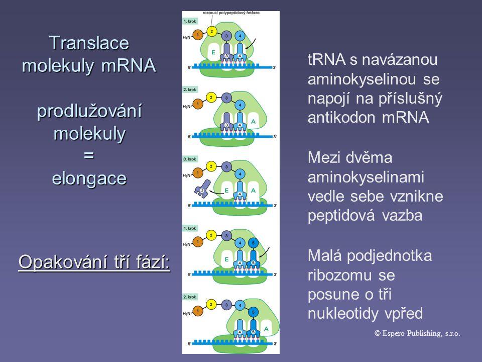 Translace molekuly mRNA prodlužování molekuly = elongace