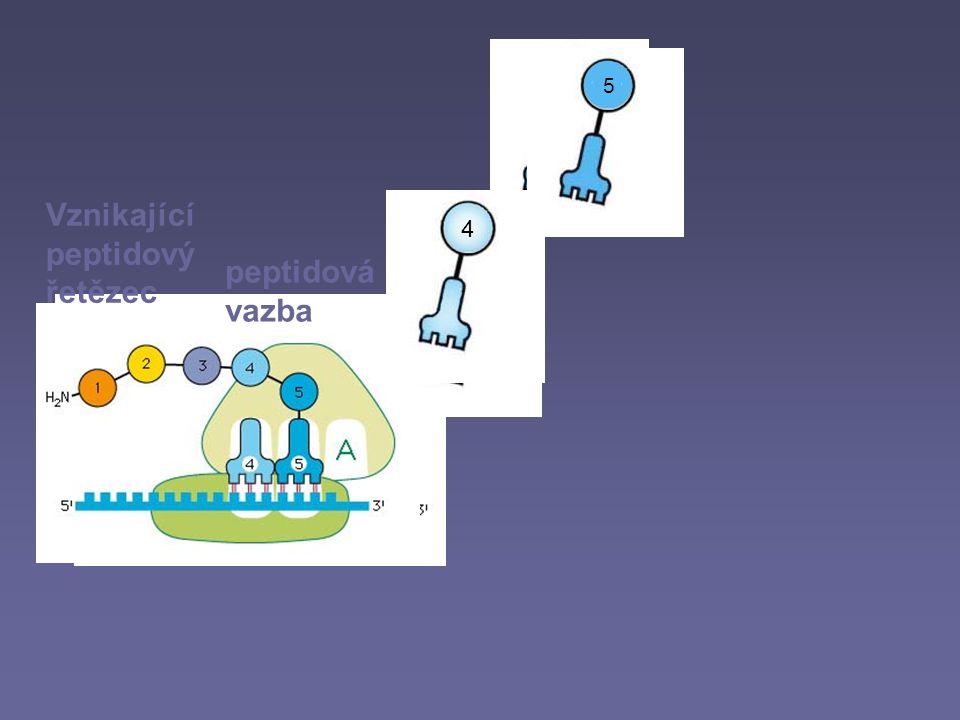 Vznikající peptidový řetězec