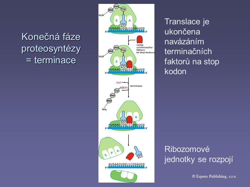 Konečná fáze proteosyntézy = terminace