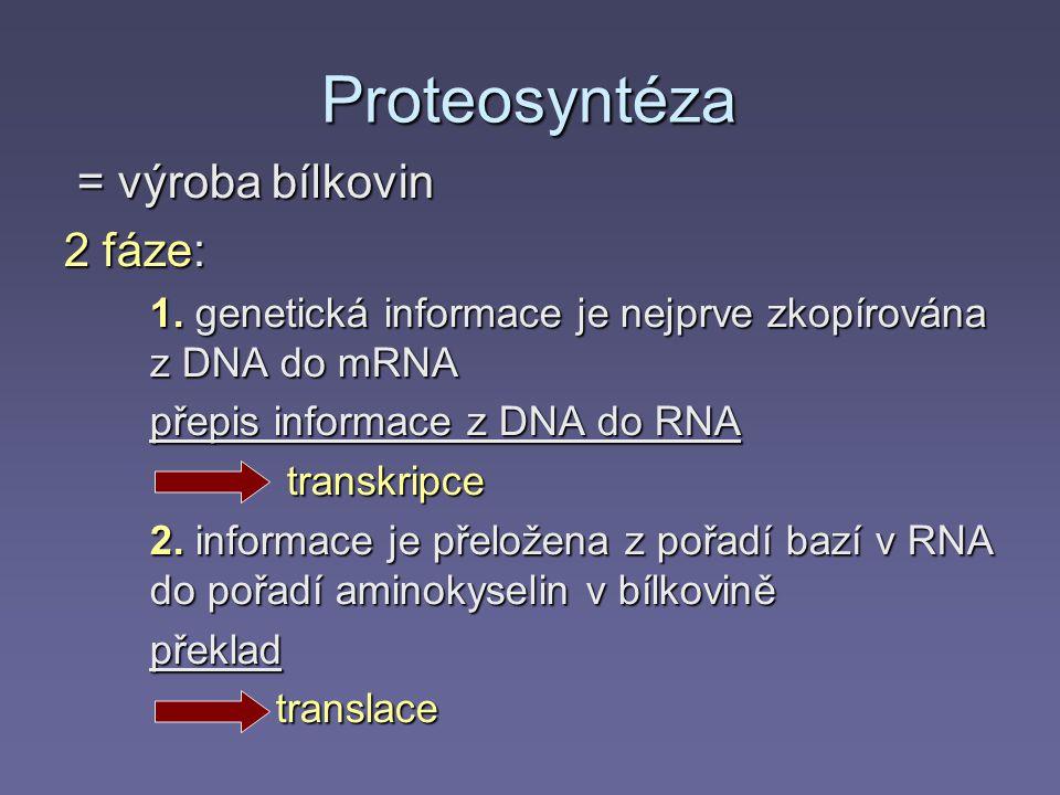 Proteosyntéza = výroba bílkovin 2 fáze: