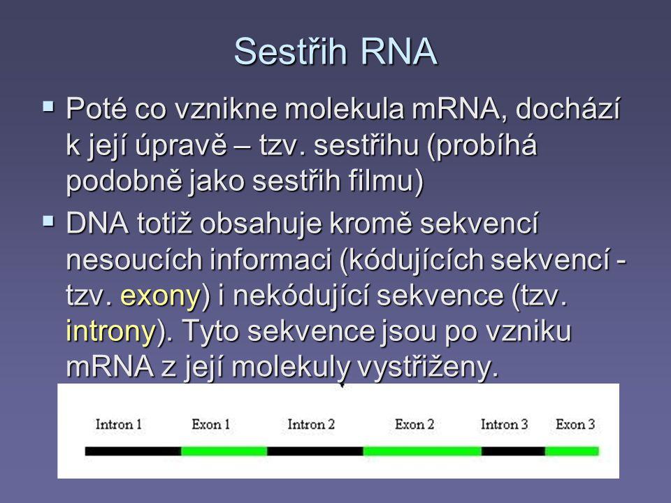 Sestřih RNA Poté co vznikne molekula mRNA, dochází k její úpravě – tzv. sestřihu (probíhá podobně jako sestřih filmu)