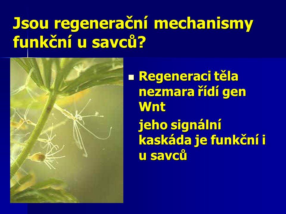 Jsou regenerační mechanismy funkční u savců