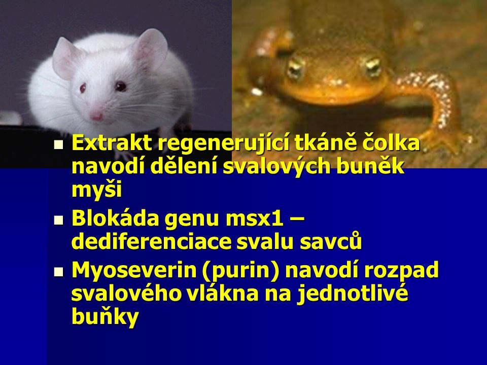 Extrakt regenerující tkáně čolka navodí dělení svalových buněk myši