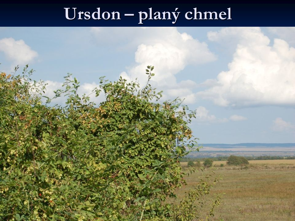 Ursdon – planý chmel