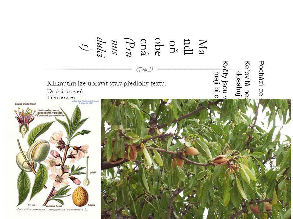 Mandloň obecná (Prunus dulcis)