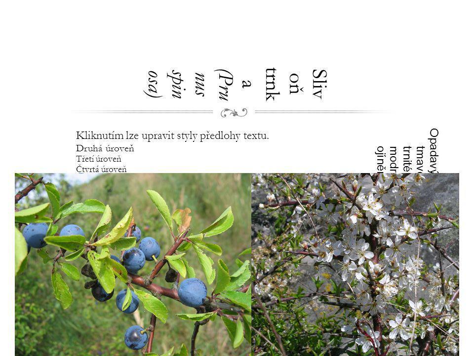 Slivoň trnka (Prunus spinosa)