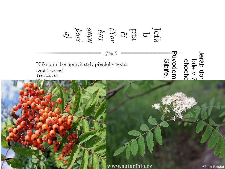 Jeřáb ptačí (Sorbus aucuparia)