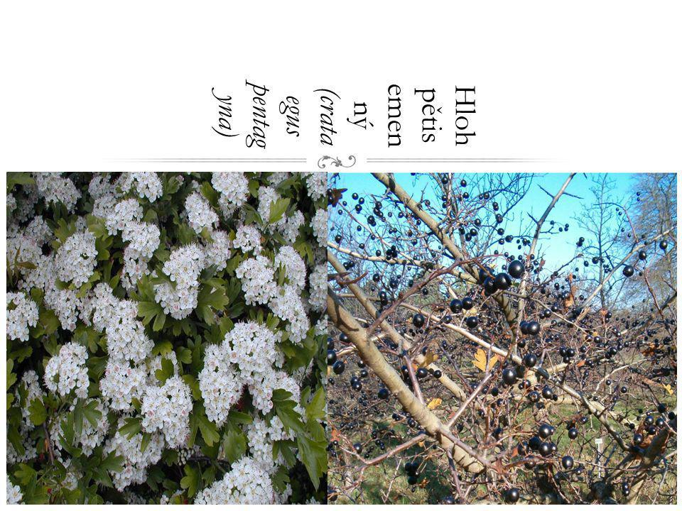 Hloh pětisemenný (crataegus pentagyna)