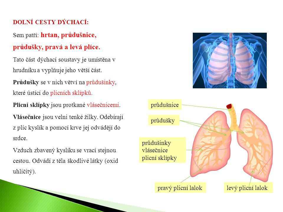 DOLNÍ CESTY DÝCHACÍ: Sem patří: hrtan, průdušnice, průdušky, pravá a levá plíce. Tato část dýchací soustavy je umístěna v hrudníku a vyplňuje jeho větší část. Průdušky se v nich větví na průdušinky, které ústící do plicních sklípků. Plicní sklípky jsou protkané vlásečnicemi. Vlásečnice jsou velni tenké žilky. Odebírají z plic kyslík a pomocí krve jej odvádějí do srdce. Vzduch zbavený kyslíku se vrací stejnou cestou. Odvádí z těla škodlivé látky (oxid uhličitý).