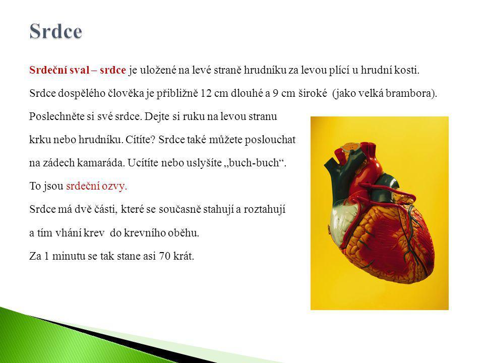 Srdce Srdeční sval – srdce je uložené na levé straně hrudníku za levou plící u hrudní kosti.