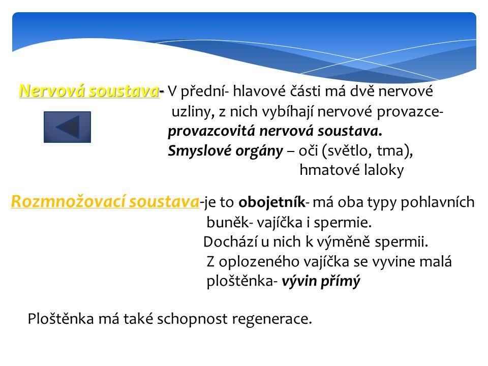 Nervová soustava- V přední- hlavové části má dvě nervové