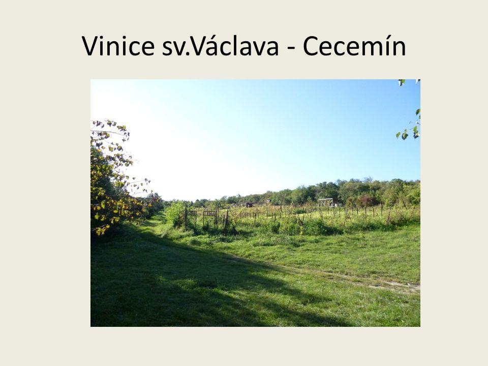 Vinice sv.Václava - Cecemín