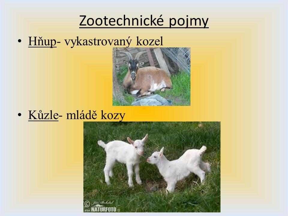 Zootechnické pojmy Hňup- vykastrovaný kozel Kůzle- mládě kozy