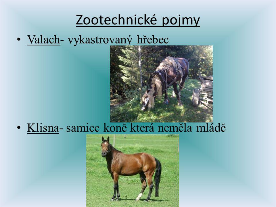 Zootechnické pojmy Valach- vykastrovaný hřebec