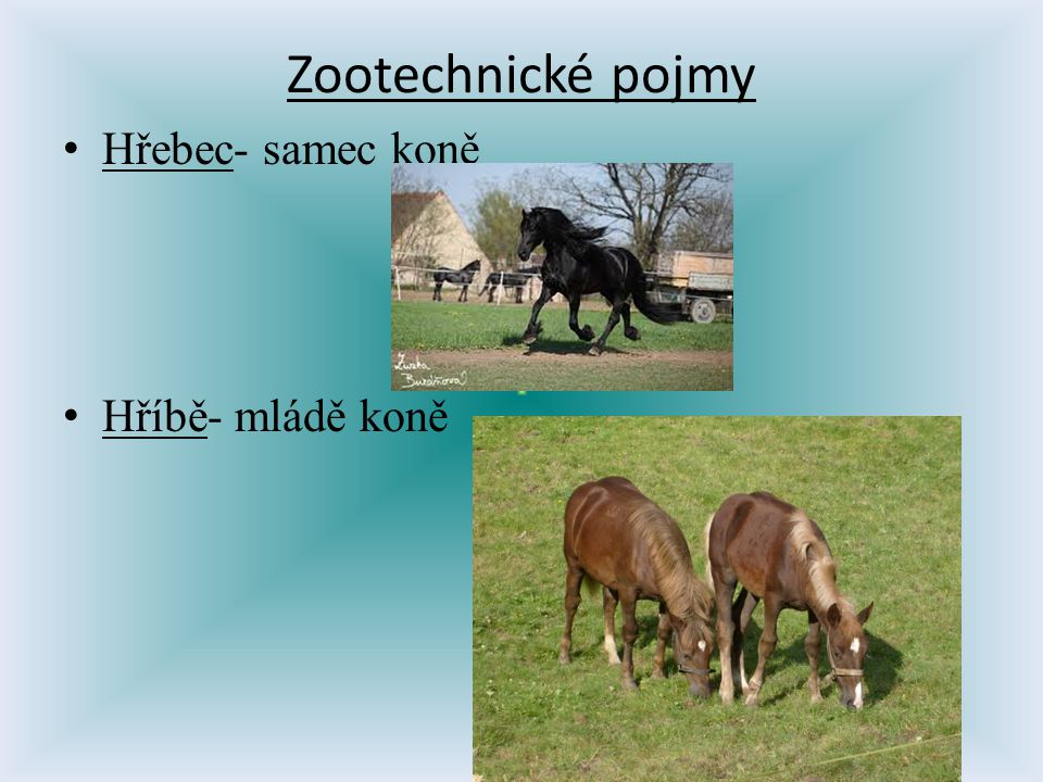 Zootechnické pojmy Hřebec- samec koně Hříbě- mládě koně