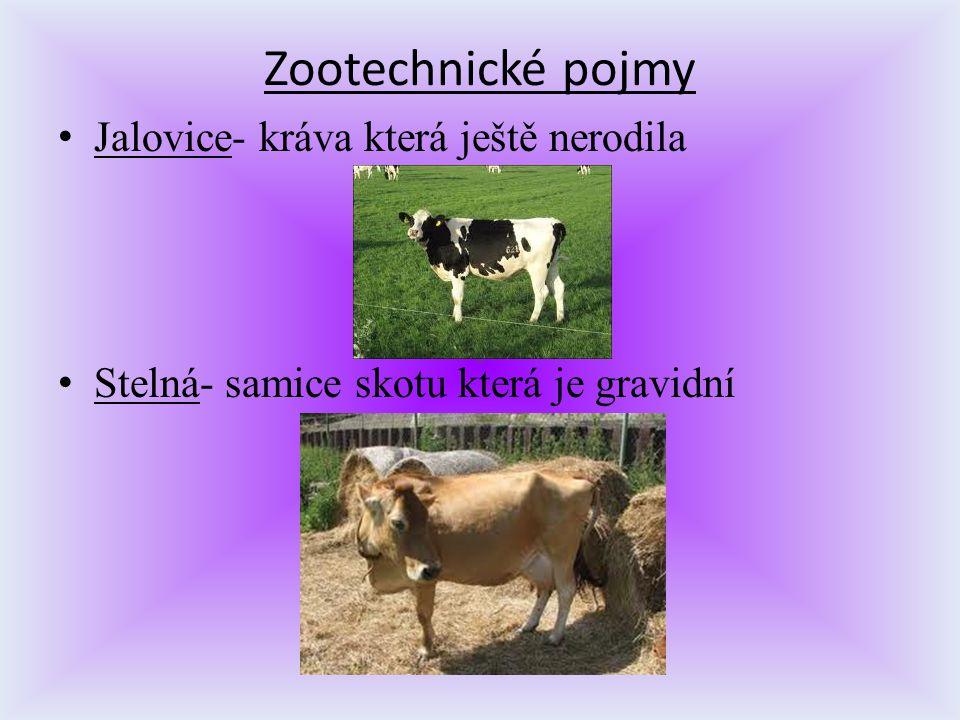 Zootechnické pojmy Jalovice- kráva která ještě nerodila