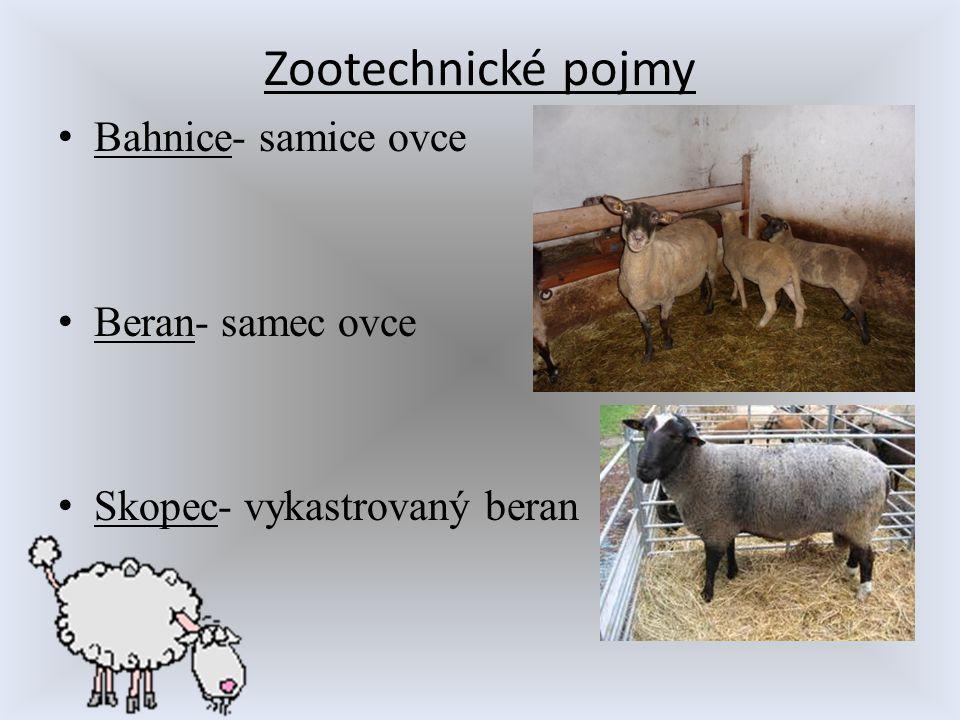 Zootechnické pojmy Bahnice- samice ovce Beran- samec ovce