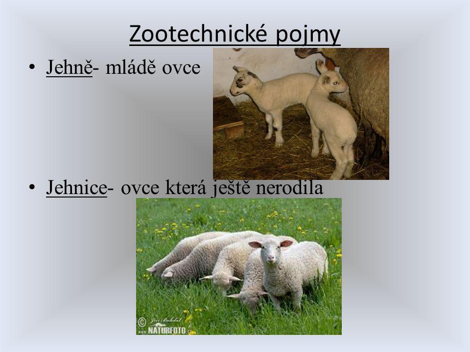 Zootechnické pojmy Jehně- mládě ovce