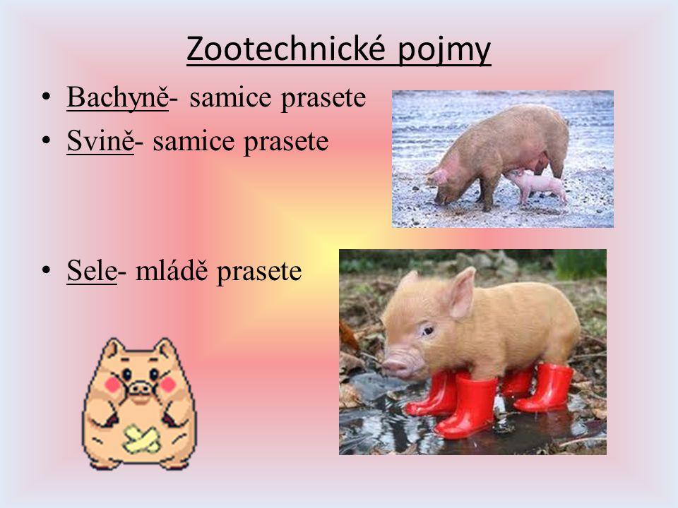 Zootechnické pojmy Bachyně- samice prasete Svině- samice prasete