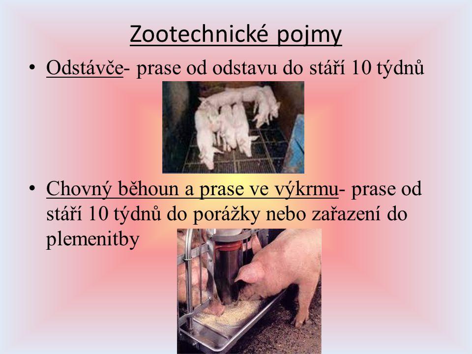Zootechnické pojmy Odstávče- prase od odstavu do stáří 10 týdnů