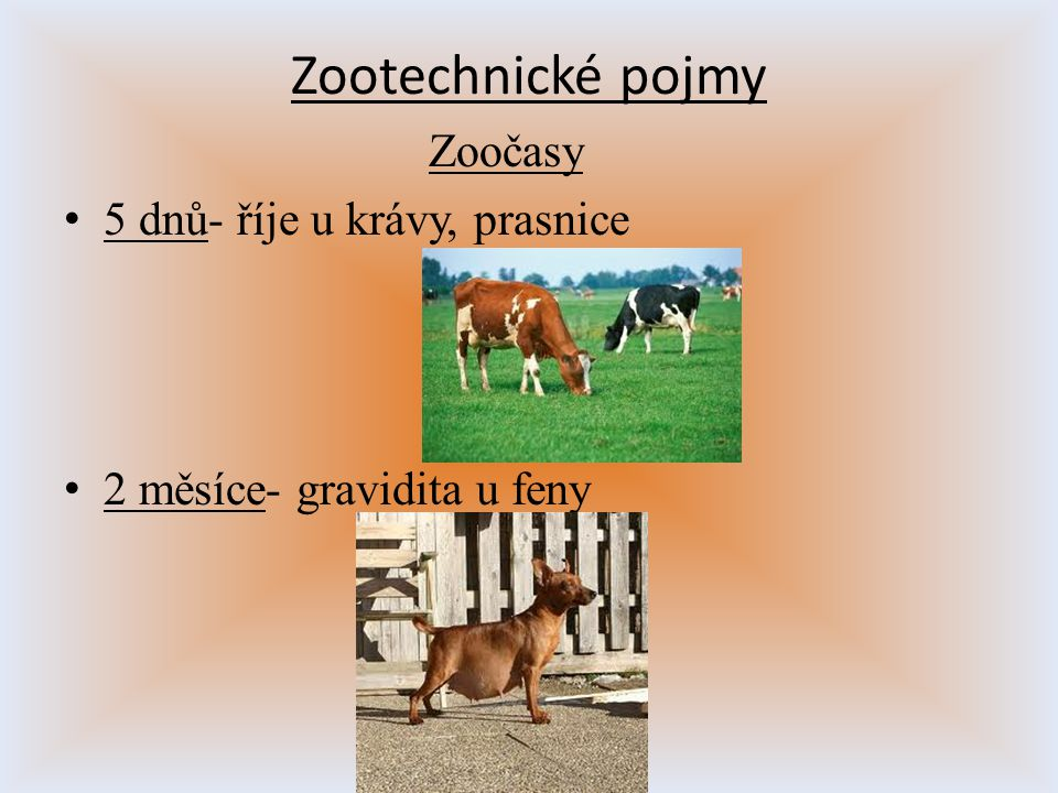Zootechnické pojmy Zoočasy 5 dnů- říje u krávy, prasnice