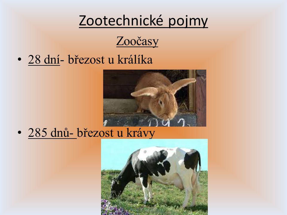 Zootechnické pojmy Zoočasy 28 dní- březost u králíka