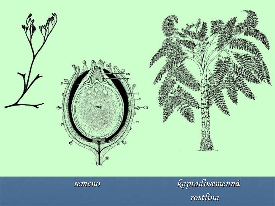 semeno kapraďosemenná