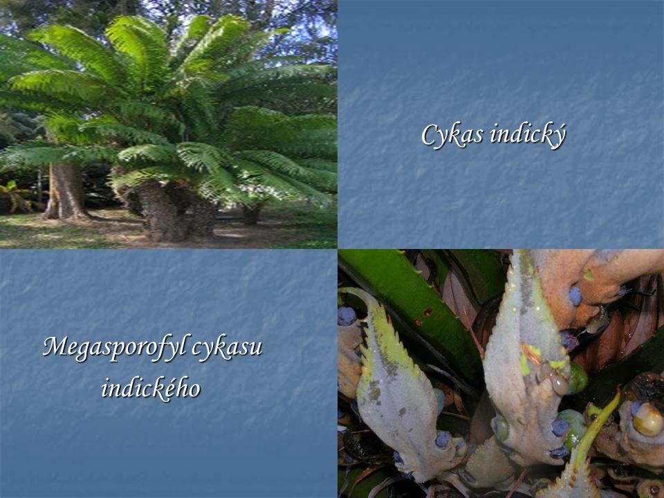 Cykas indický Megasporofyl cykasu indického