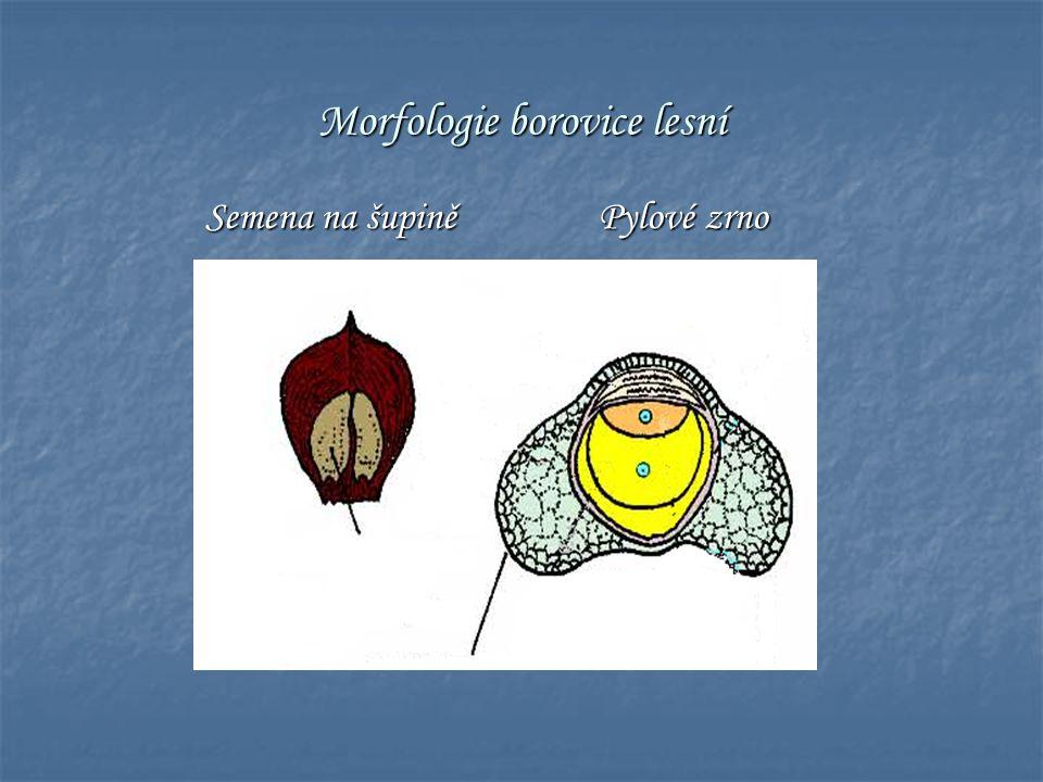 Morfologie borovice lesní