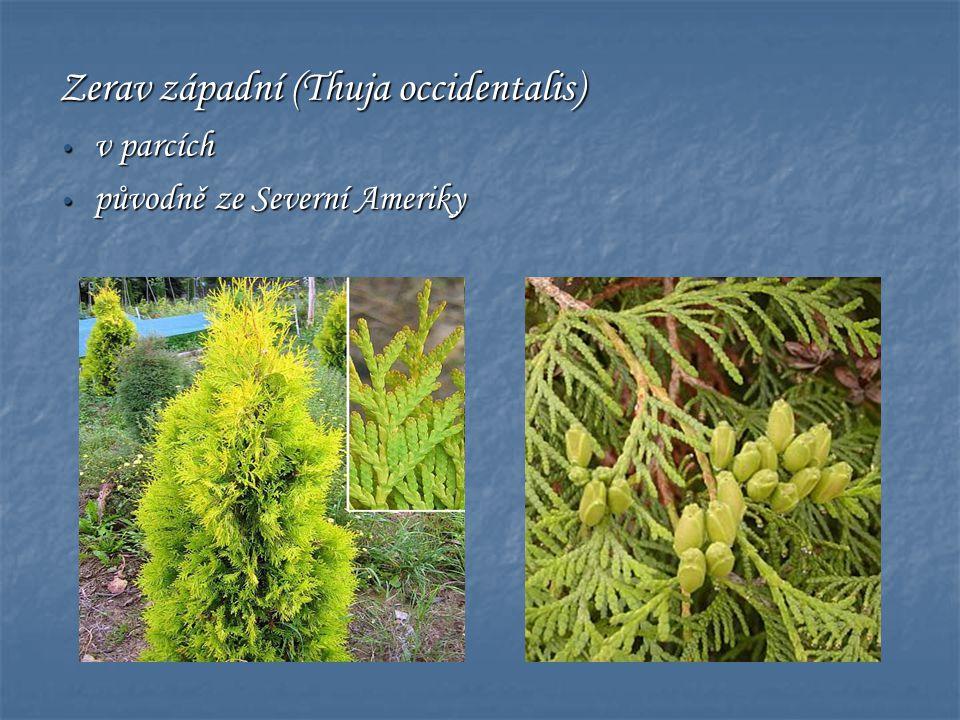 Zerav západní (Thuja occidentalis)