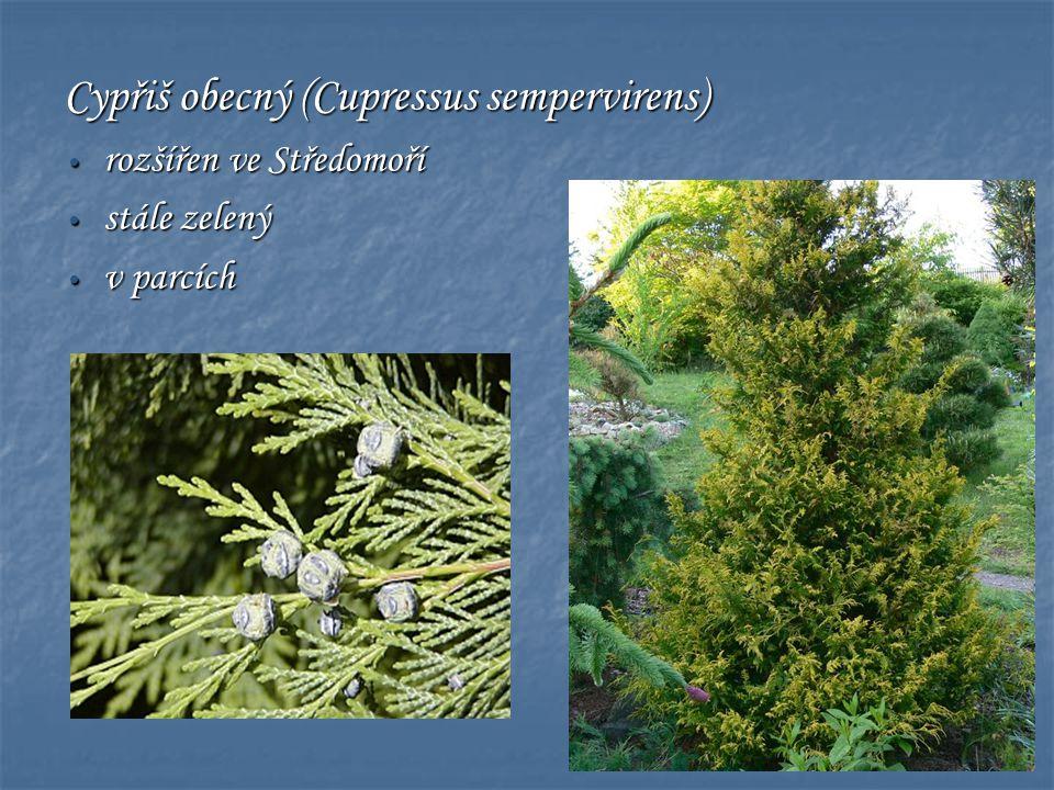 Cypřiš obecný (Cupressus sempervirens)
