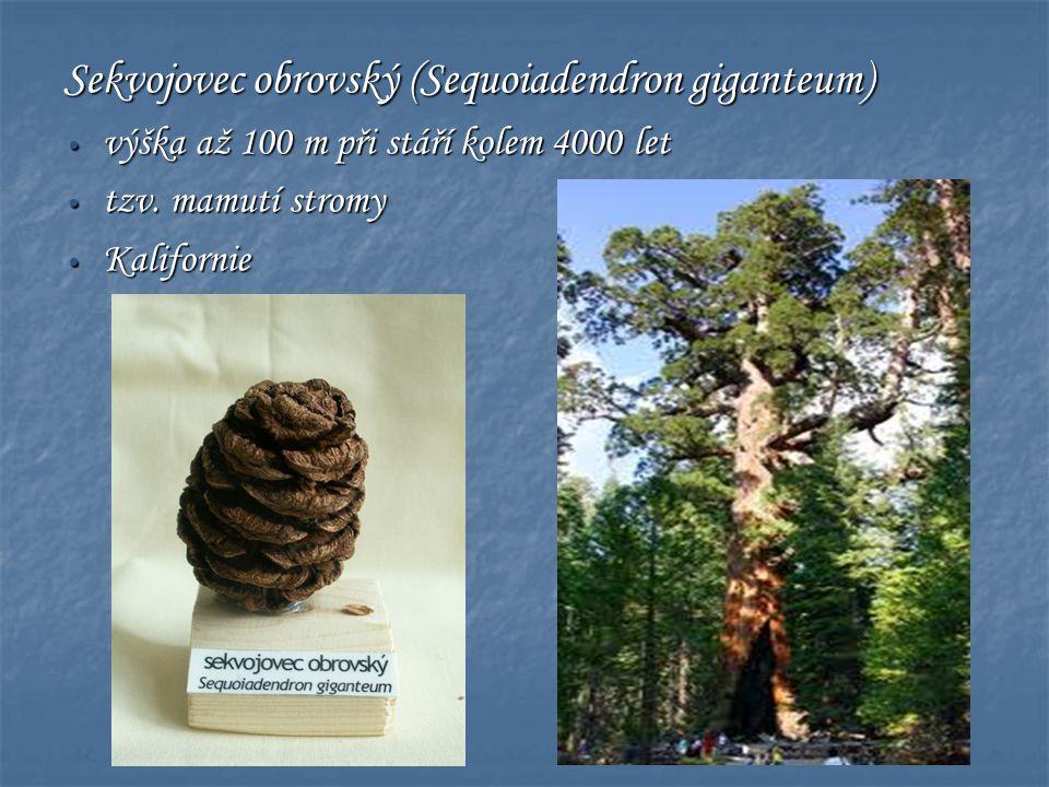 Sekvojovec obrovský (Sequoiadendron giganteum)