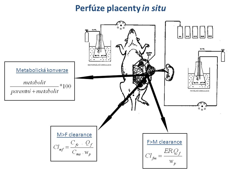 Perfúze placenty in situ
