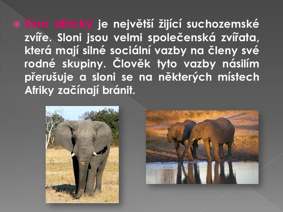 Slon africký je největší žijící suchozemské zvíře