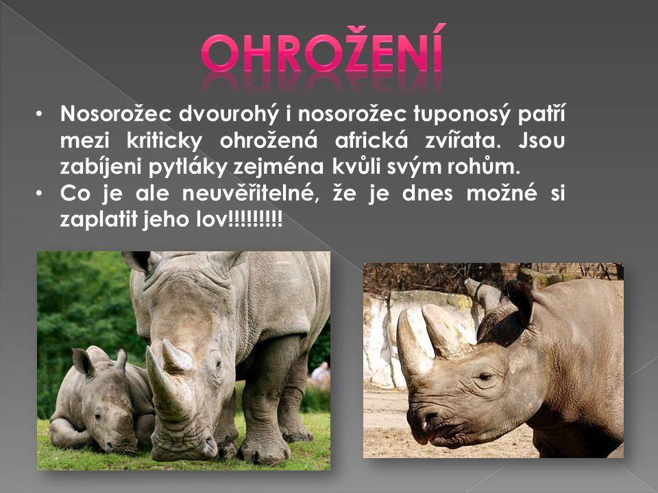Ohrožení Nosorožec dvourohý i nosorožec tuponosý patří mezi kriticky ohrožená africká zvířata. Jsou zabíjeni pytláky zejména kvůli svým rohům.