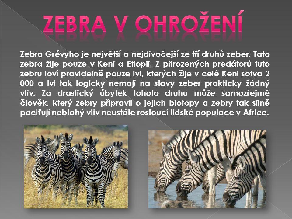 Zebra v ohrožení