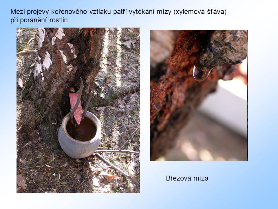 Mezi projevy kořenového vztlaku patří vytékání mízy (xylemová šťáva) při poranění rostlin