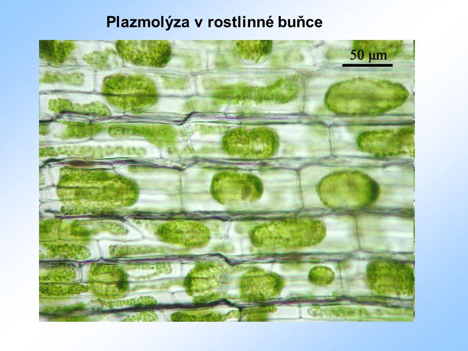 Plazmolýza v rostlinné buňce