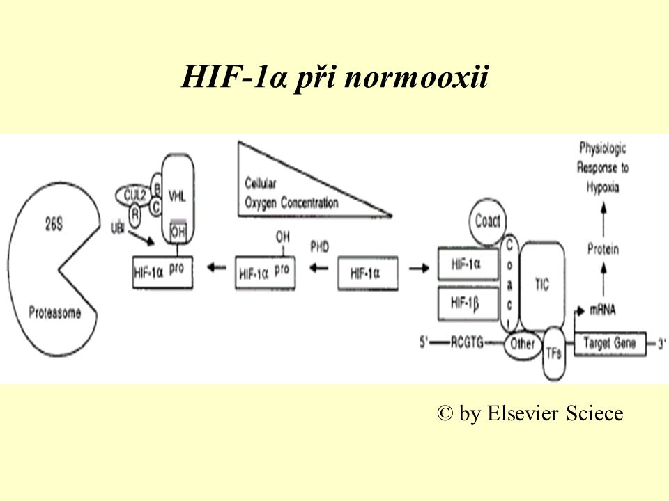 HIF-1α při normooxii © by Elsevier Sciece
