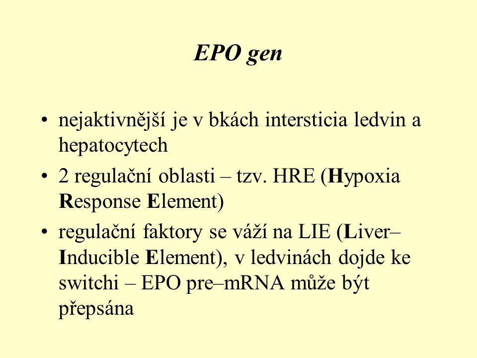 EPO gen nejaktivnější je v bkách intersticia ledvin a hepatocytech