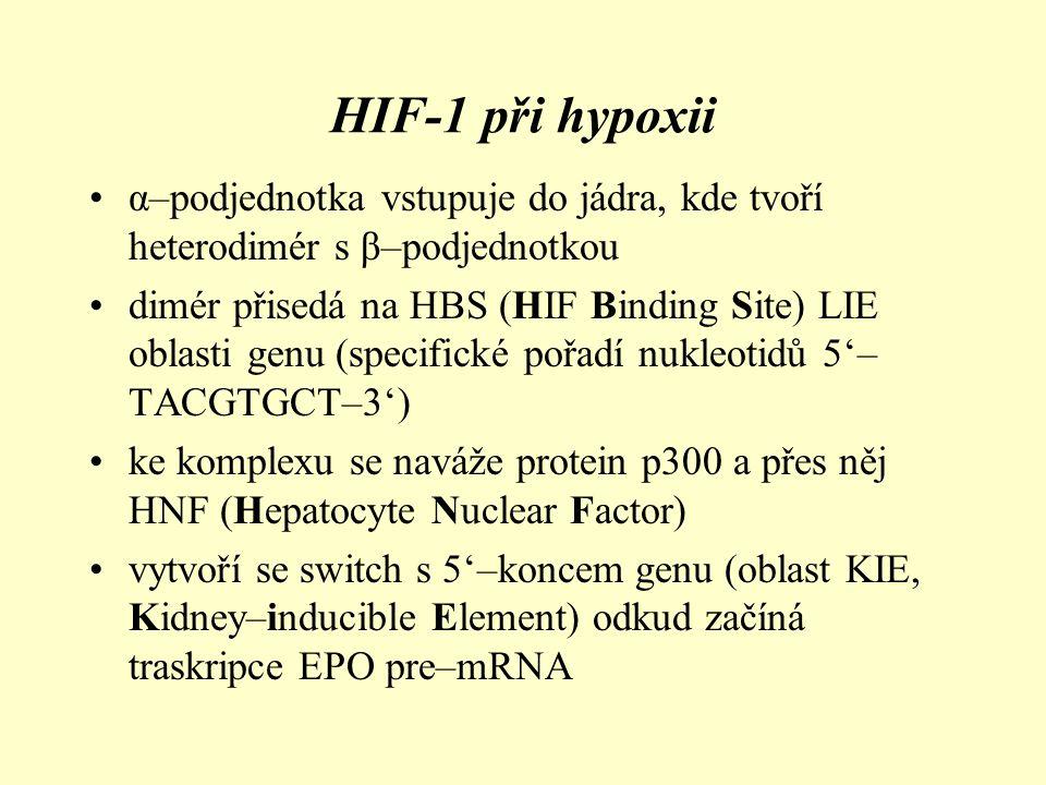 HIF-1 při hypoxii α–podjednotka vstupuje do jádra, kde tvoří heterodimér s β–podjednotkou.