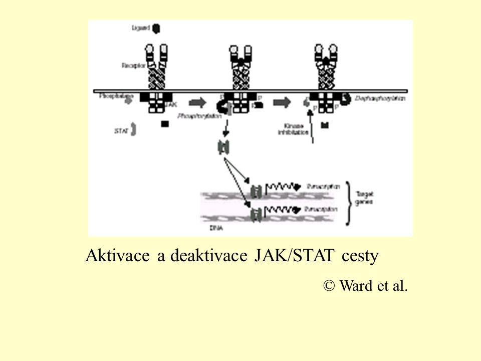 Aktivace a deaktivace JAK/STAT cesty