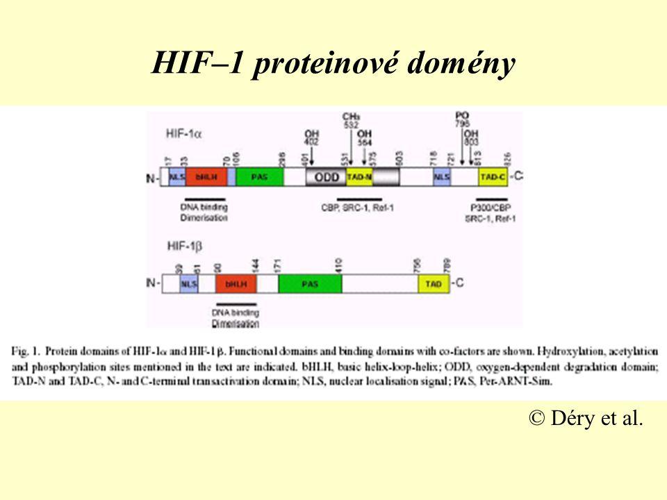 HIF–1 proteinové domény