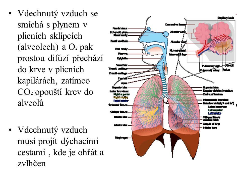 Vdechnutý vzduch se smíchá s plynem v plicních sklípcích (alveolech) a O2 pak prostou difúzí přechází do krve v plicních kapilárách, zatímco CO2 opouští krev do alveolů
