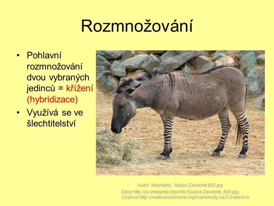 Rozmnožování Pohlavní rozmnožování dvou vybraných jedinců = křížení (hybridizace) Využívá se ve šlechtitelství.